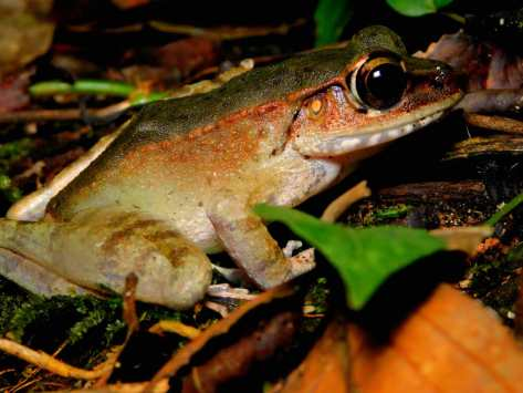 Poisonous Rock Frog(Rans hosii)