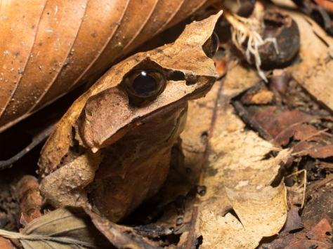 lupa masa - frogs-11